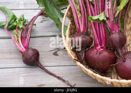 Closeup-Fresh Beets from the garden with rich red colors set off by the green leaves - healthy farm to table food - Stock Photo