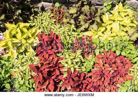 Cultivars Solenostemon scutellarioides, coleus - Stock Photo