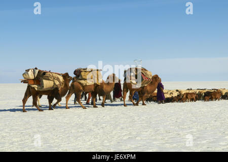 Mongolia, Khovd province, nomad, herd of cattle, camels, hike, steppe, winter, - Stock Photo