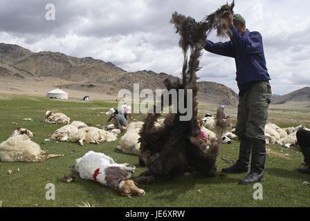 Mongolia, extreme west province, Bayan Olgii province, Tsambagarav national park, Kasachen, support, nomad, sheep - Stock Photo