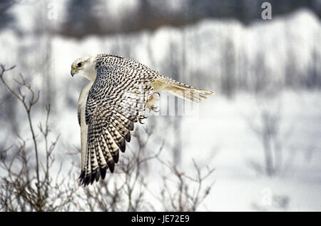 Gerfalke, Falco rusticolus, adult animal, in the flight, Canada, - Stock Photo