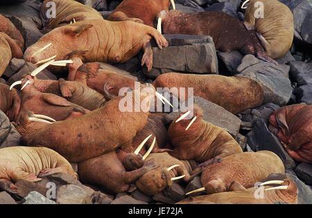 Walruses, Odobenus rosmarus, colony, rock, Round Iceland, Alaska, - Stock Photo