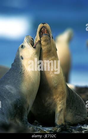 Australian sea lion, Neophoca cinerea, adult animals, play, beach, Australia, - Stock Photo
