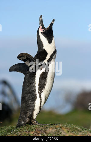 Glass penguin, Spheniscus demersus, adult animal, shout, Betty's Bay, South Africa, - Stock Photo