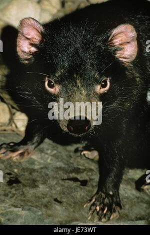 Bag devil, Sarcophilus harrisii, - Stock Photo