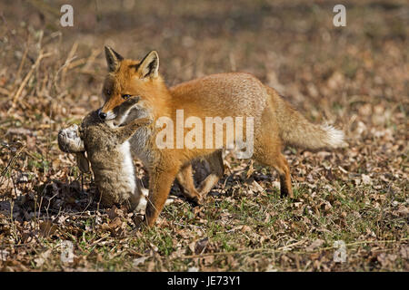 Red fox with prey, Vulpes vulpes,
