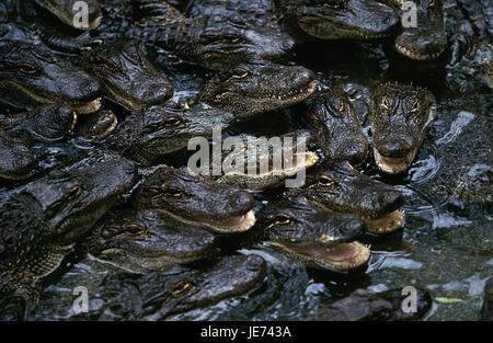 Mississippi alligators, alligator mississipiensis, young animals, crocodile farm, - Stock Photo