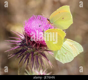 A trio of Cleopatra butterflies Gonopterix cleopatra feeding on thistle flower in Croatia - Stock Photo