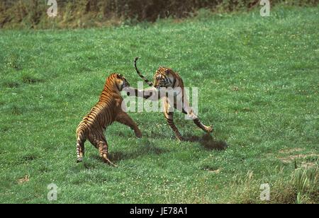 Bengali tiger, Panthera tigris tigris, adult animals, fight, - Stock Photo