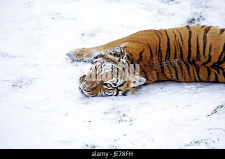 Siberian tigers, Panthera tigris altaica, also Amur tiger, adult animal, stand, snow, - Stock Photo