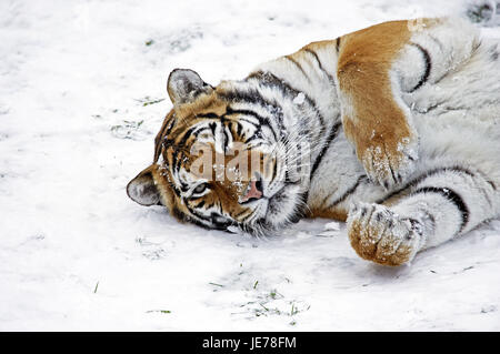 Siberian tigers, Panthera tigris altaica, also Amur tiger, adult animal, stand, snow, - Stock Photo