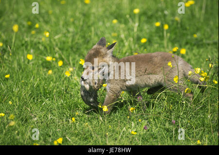 Red fox, Vulpes vulpes, puppy, wild rabbit, in the mouth, Normandy,