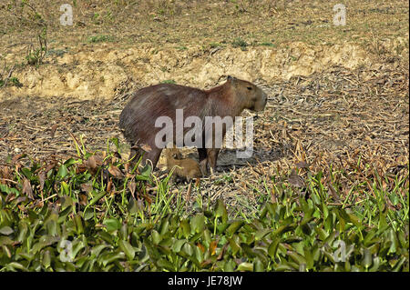 Capybara or water pig, Hydrochoerus hydrochaeris, the world-biggest rodent, female, young animal, nurse, batch Lianos, - Stock Photo