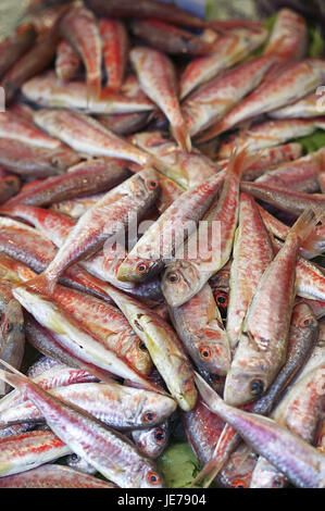 Striped red mullet or touched red mullet, Mullus surmuletus, fish, fish trade, - Stock Photo