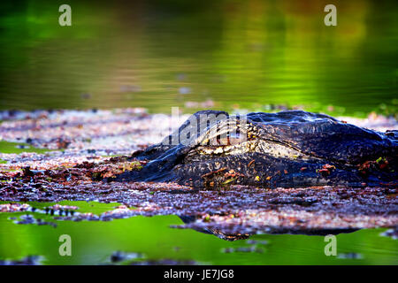 A big alligator at sunrise in the Florida Everglades. This gator is about 13 feet and always hangs out in the same - Stock Photo