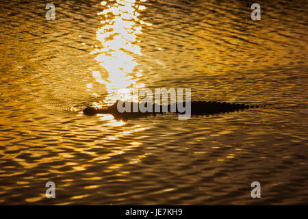 A large alligator swims past the reflection of a sunset in the Florida Everglades. The American Alligator is the - Stock Photo