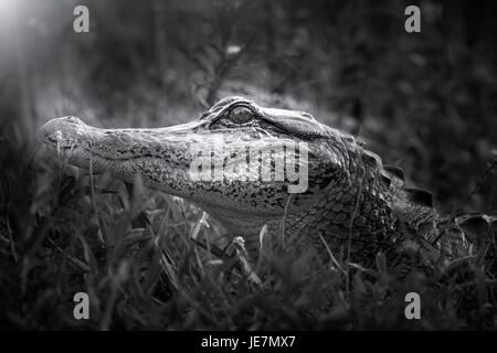 A young alligator photographed in the early morning hours in the Florida Everglades. - Stock Photo
