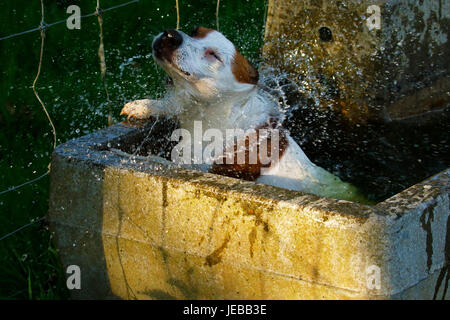 Jack Russell terrier cooling off in a water trough - Stock Photo