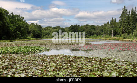 Colorful Water Lilies floating on a Tranquil Pond - Stock Photo