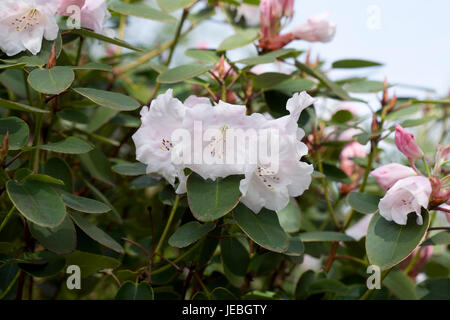 Rhododendron Naomi flowers in Spring. - Stock Photo
