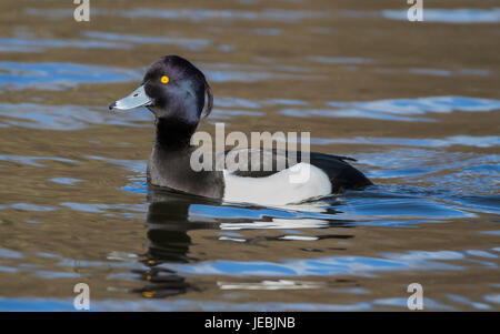 Male tufted on his own in the water - Stock Photo