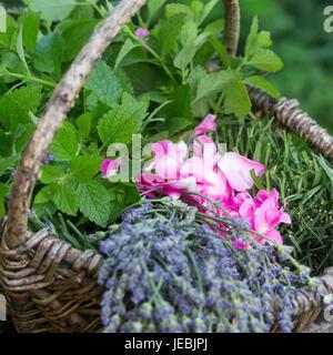 Apothekerrose, Zitronenmelisse, Lavendel als Zutaten für einen Beruhigungstee, Tee, Kräutertee, Heiltee, Kräuterernte - Stock Photo