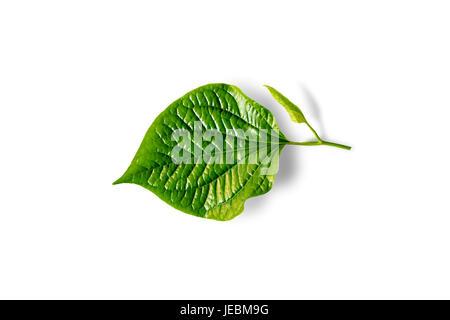 Wildbetal Leafbush (Piper sarmentosum) isolated on white - Stock Photo