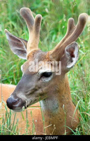 A White-tailed Deer, Odocoileus virginianus, buck with velvet antlers, Space Farms Zoo and Museum, Sussex County, - Stock Photo