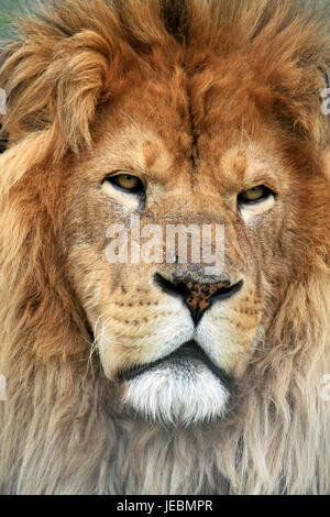 An African Lion, Panthera leo, at Space Farms Zoo and Museum, Sussex County, New Jersey, USA - Stock Photo