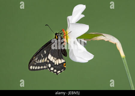 Indra Swallowtail butterfly, Papilio indra,  nectaring on a Pheasant's eye wild flower, Narcissus Poetica, Metolius - Stock Photo
