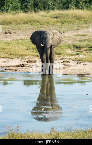 A lone elephant stands at the watering hole, Hwange National Park, Zimbabwe - Stock Photo