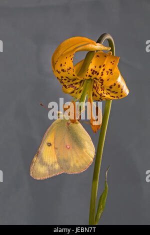 A clouded sulphur butterfly, Colias philodice eriphyle, on a Columbia lily, or tiger lily, Lilium columbianum, on - Stock Photo