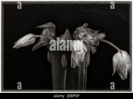 Wilted tulips in vase- still life with black background - Stock Photo