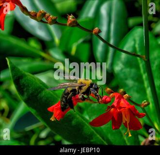 Montbretc Luchifer flowers - Stock Photo