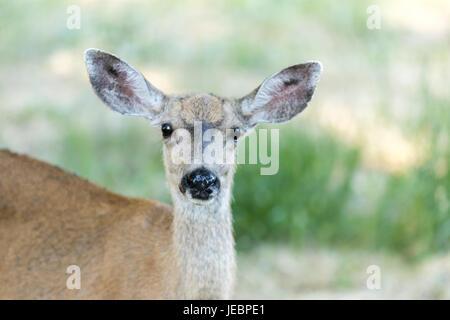 Black-tailed Deer (Odocoileus hemionus) Head, Adult Female. - Stock Photo