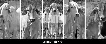 Black and white panoramic cow banner set with brahman cattle in rural Australia - Stock Photo