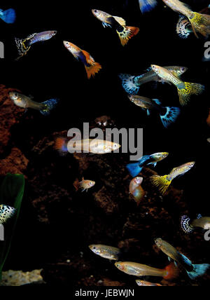 Guppies, Poecilia reticulata, - Stock Photo