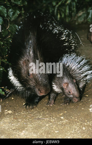 West-African porcupine with young animal, Hystrix cristata, - Stock Photo