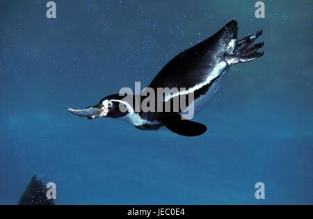 Humboldt's penguin, Spheniscus humboldti, also Humboldt's penguin, adult animal, fishing, fish in the beak, - Stock Photo