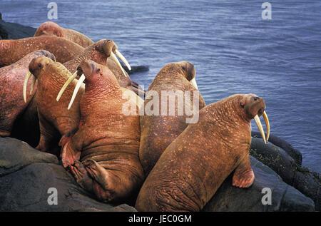Walruses, Odobenus rosmarus, colony, coast, rock, Round Iceland, Alaska, - Stock Photo