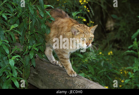 European wildcat or forest cat, Felis silvestris, adult animal, branch, - Stock Photo