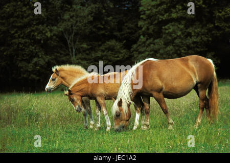 Haflinger, mare with foal on a meadow, - Stock Photo