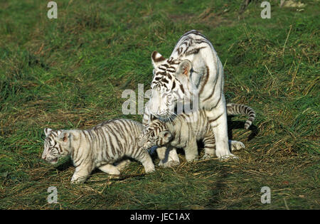 White tiger, Panthera tigris, female with young animals, - Stock Photo