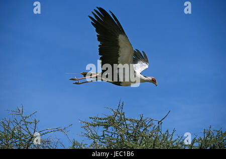 Secretary in the flight, Sagittarius serpentarius, - Stock Photo