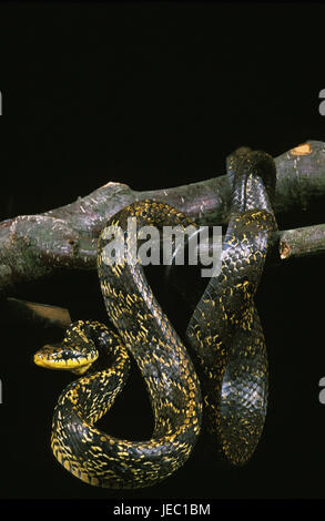 Poultry eater queue on a trunk, Spilotes pullatus, - Stock Photo