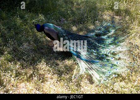 Greece, Rhodes, Filerimos, blue peacock, cloister park, cloister park, park, animal, peacock, plumage, plumage, - Stock Photo