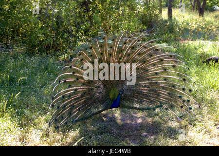 Greece, Rhodes, Filerimos, blue peacock, cloister park, cloister park, park, animal, peacock, Phasianidae, gallinaceous - Stock Photo