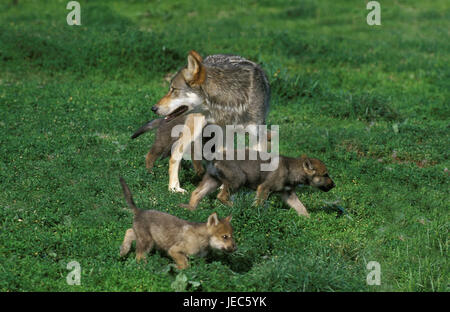 Wolf, canis lupus, mother animal with boys, - Stock Photo