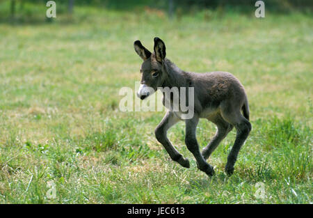 Poitou donkey, galloping foal, - Stock Photo