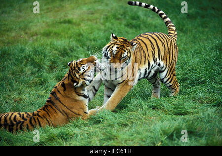 Siberian tiger, Panthera tigris altaica, little man and female, - Stock Photo